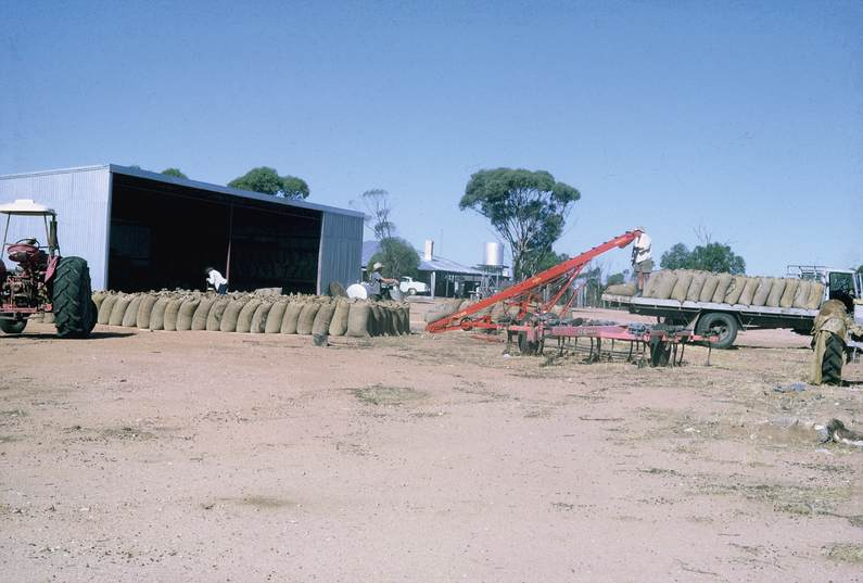 Ross collection: Tying the bags, loading the wheat 1960's at Ross's