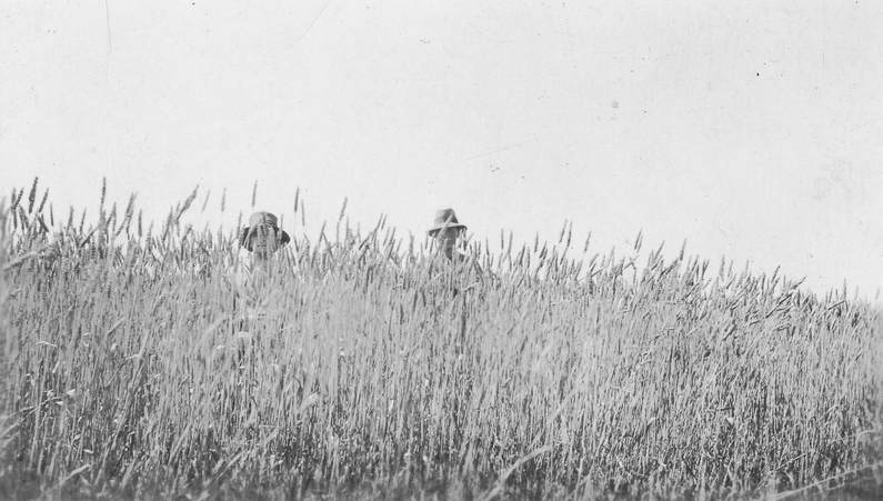 Taylor collection: 2 men stand in tall crop of wheat