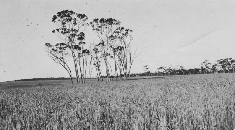 Taylor collection: good looking crop with tall Salmon gums